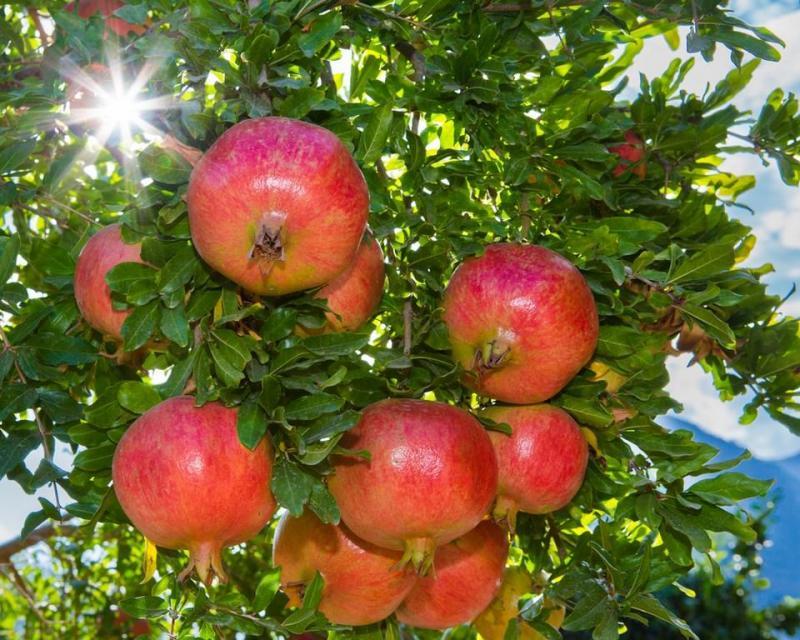 ما يتعلق بشجرة وفوائد الرمان . . 14078410
