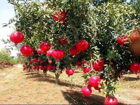ما يتعلق بشجرة وفوائد الرمان . . Hqdefa10