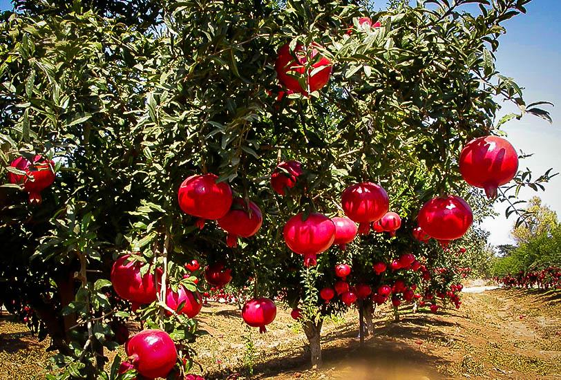 ما يتعلق بشجرة وفوائد الرمان . . Pomegr10