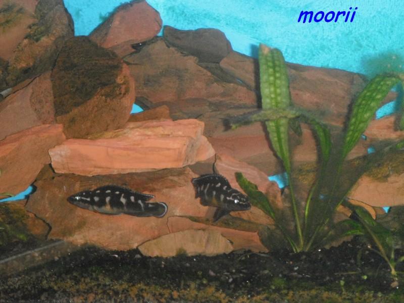 Julidochromis transcriptus Bemba - Page 2 004310