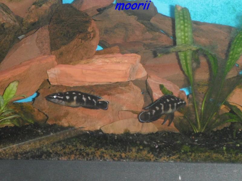 Julidochromis transcriptus Bemba - Page 2 004410