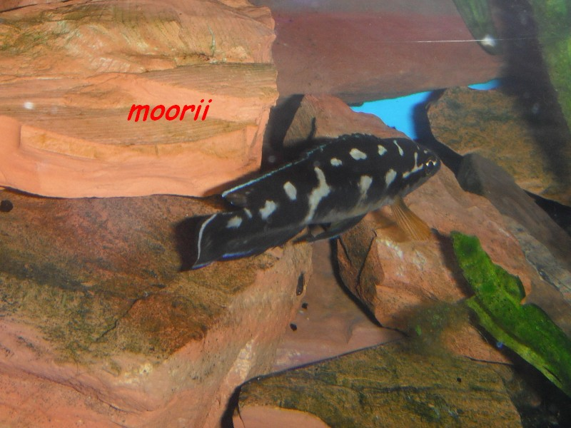 Julidochromis transcriptus Bemba - Page 2 005011
