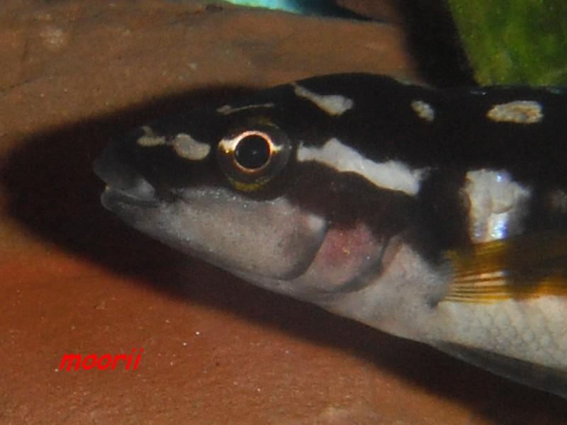 Julidochromis transcriptus Bemba - Page 2 005111