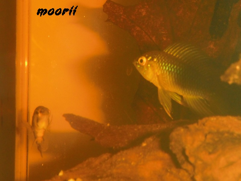 Apistogramma borellii Pantanal 2511