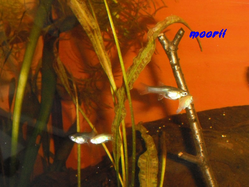 Poecilia reticulata Venezuela 2811