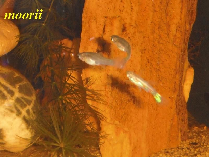 Poecilia reticulata Venezuela 3512