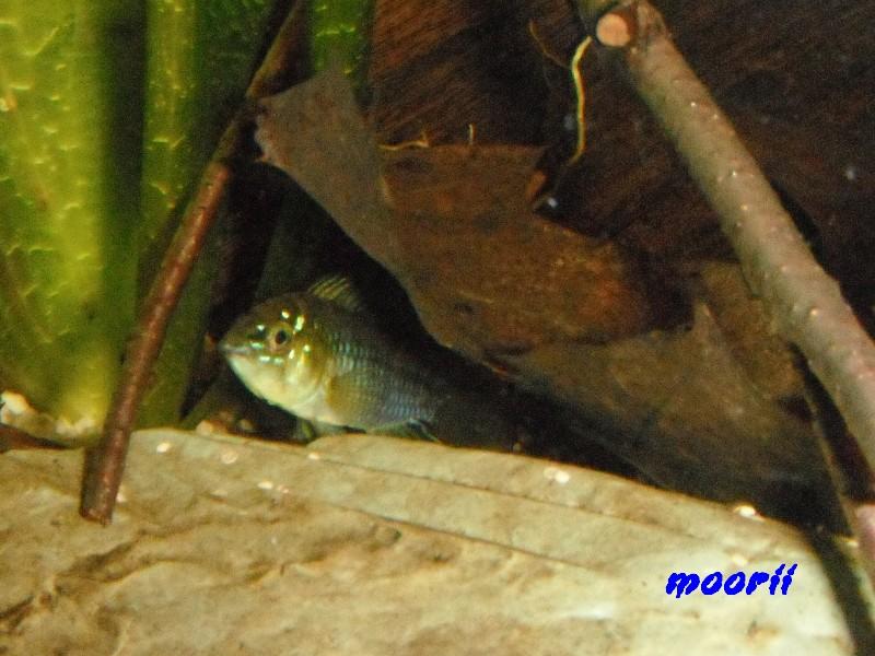 Apistogramma borellii Pantanal 3611