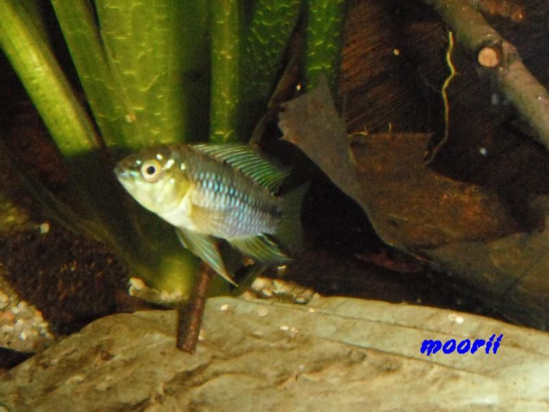 Apistogramma borellii Pantanal 3711
