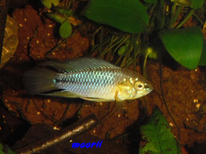 Apistogramma borellii Pantanal 4311