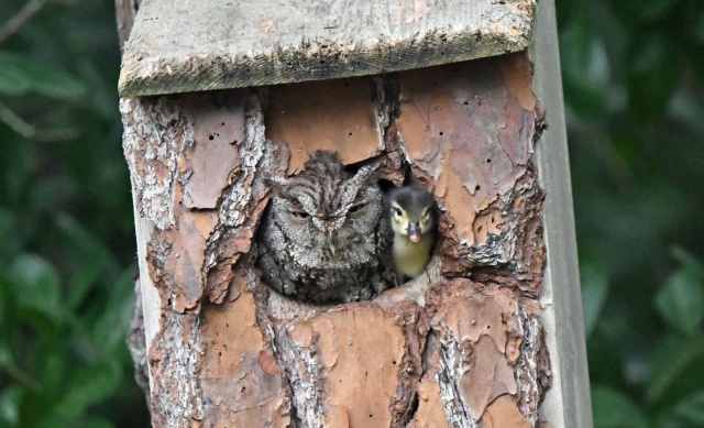 Ce hibou a couvé un canard comme son propre petit 01-owl10