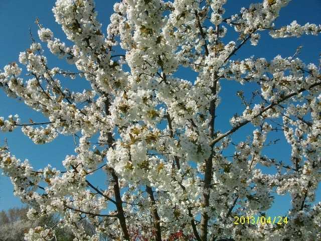 cerisier en fleurs Avril_33