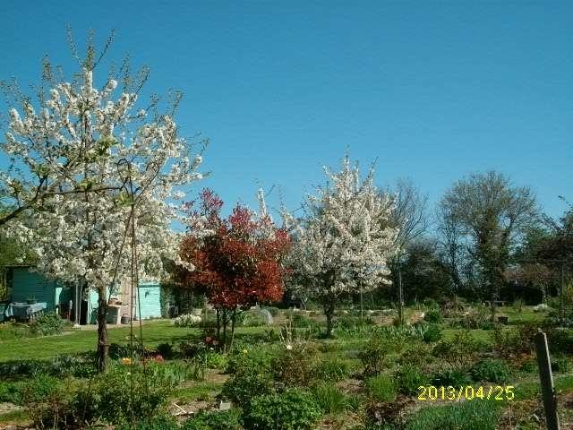 cerisier en fleurs Avril_34