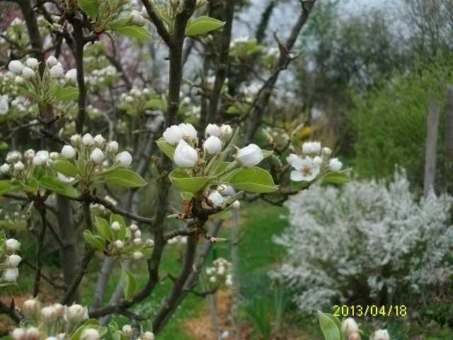 Arbres fruitiers et leur taille - Page 3 Avril_42