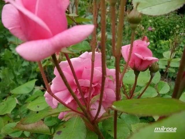 milrose Juin_105