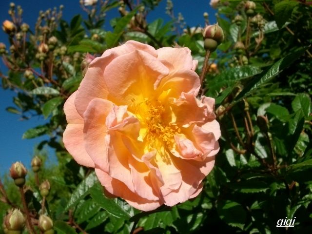 Rosa 'Ghislaine de Féligonde !!! - Page 2 Juin_150