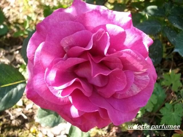 Rosa 'Violette Parfumée !!! - Page 2 Juin_151
