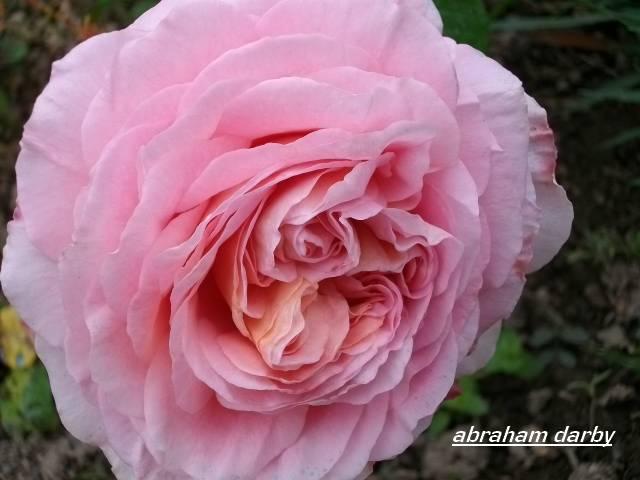 'Abraham Darby' !!! Juin_154