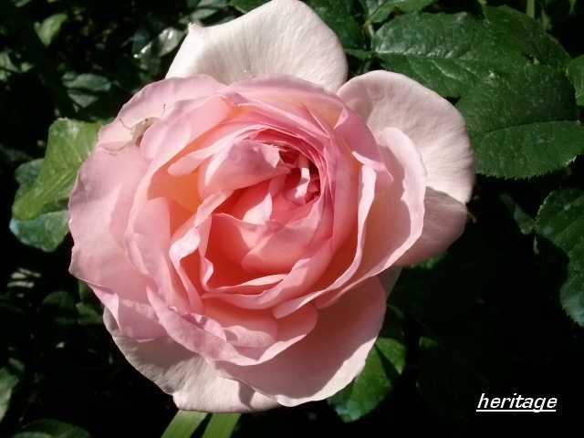 Rosa 'Héritage' !!! - Page 3 Juin_182