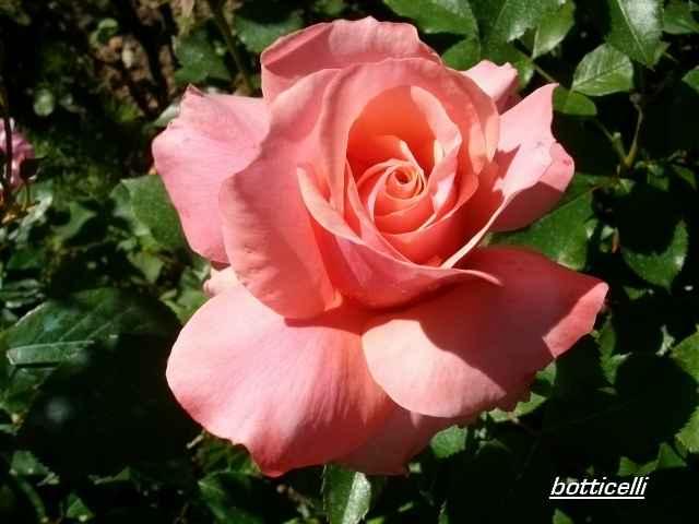 Rosa 'Botticelli' Juin_199