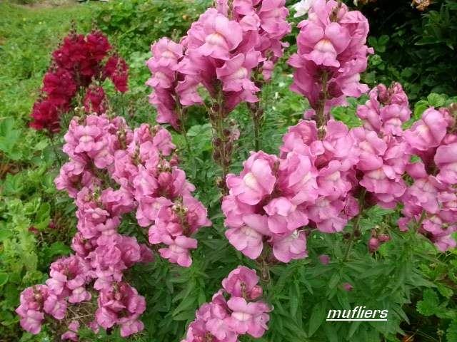 32 - La couleur rose !!! - Page 6 Juin_242