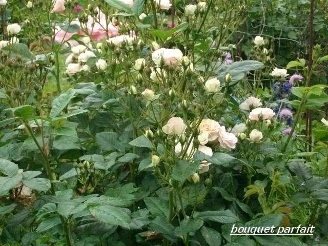 Rosa 'Bouquet Parfait' !!! - Page 3 Juin_250