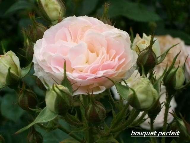 Rosa 'Bouquet Parfait' !!! - Page 3 Juin_251