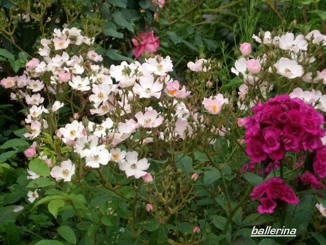 Rosa 'Ballerina' !!! - Page 2 Juin_273