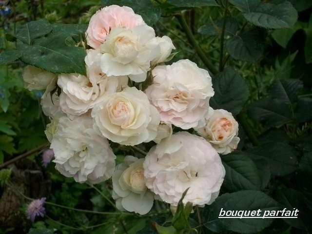 Rosa 'Bouquet Parfait' !!! - Page 3 Juin_277