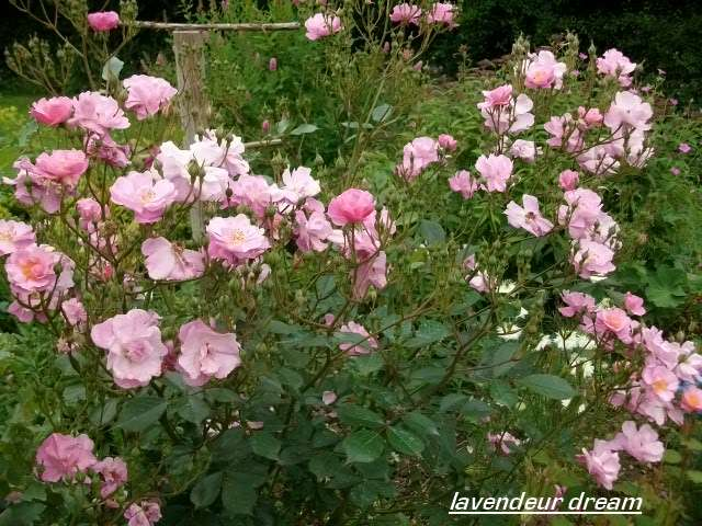 rosa lavander dream - Page 2 Juin_286