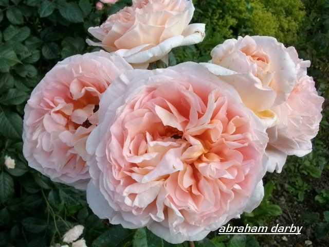 'Abraham Darby' !!! Juin_360