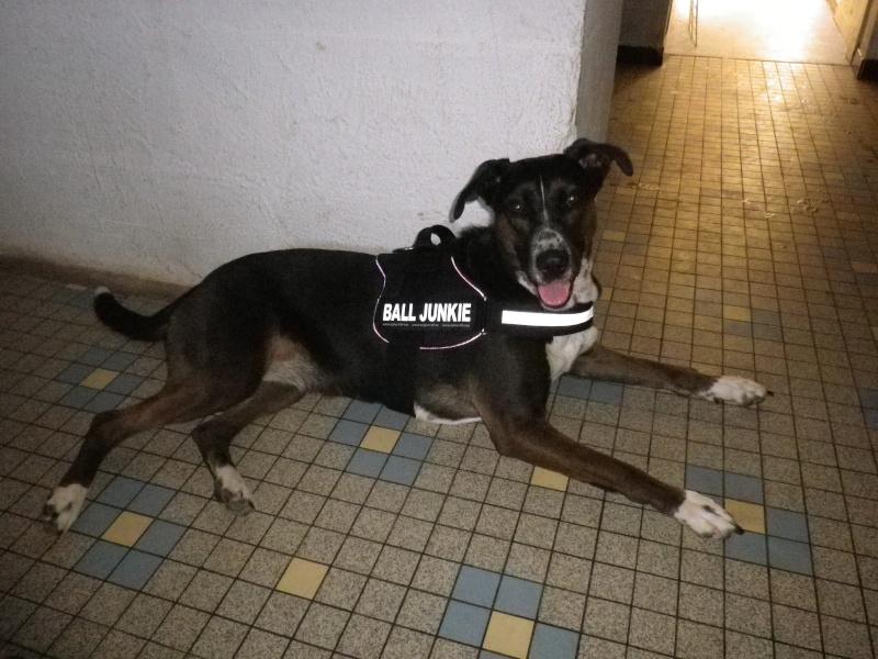 Vos chiens et leurs harnais! Photo  Imgp0010