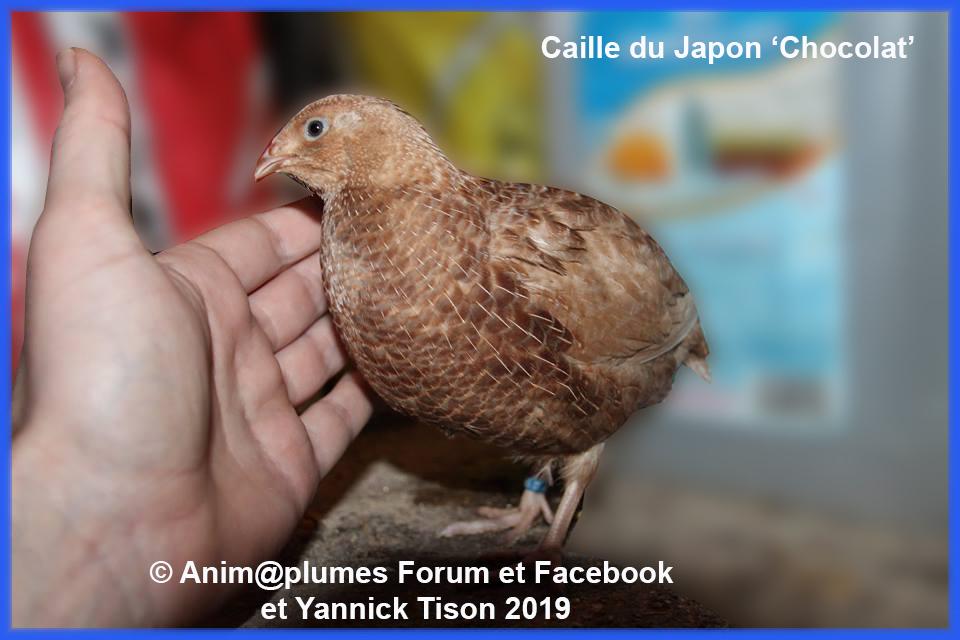 Les photos du portail d'Anim@plumes - Page 2 Caille10