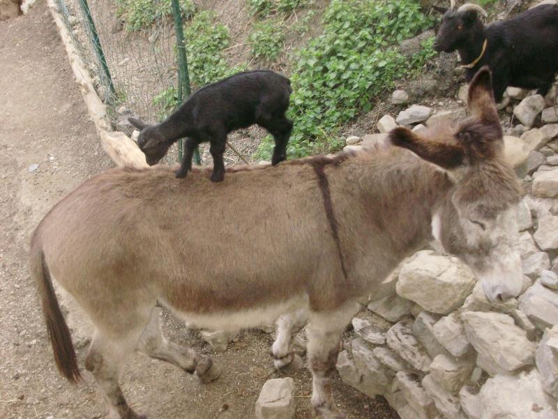 Chevaux et chèvres P4270010