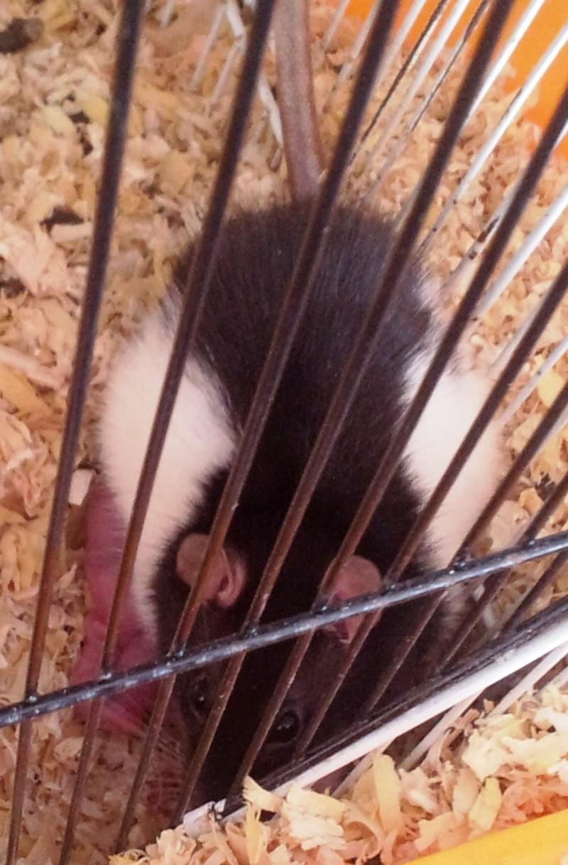 Mes rats d'amour 20130613