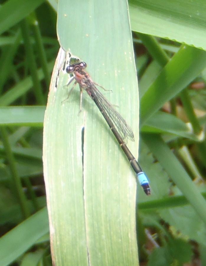 Ischnura elegans  P6010816
