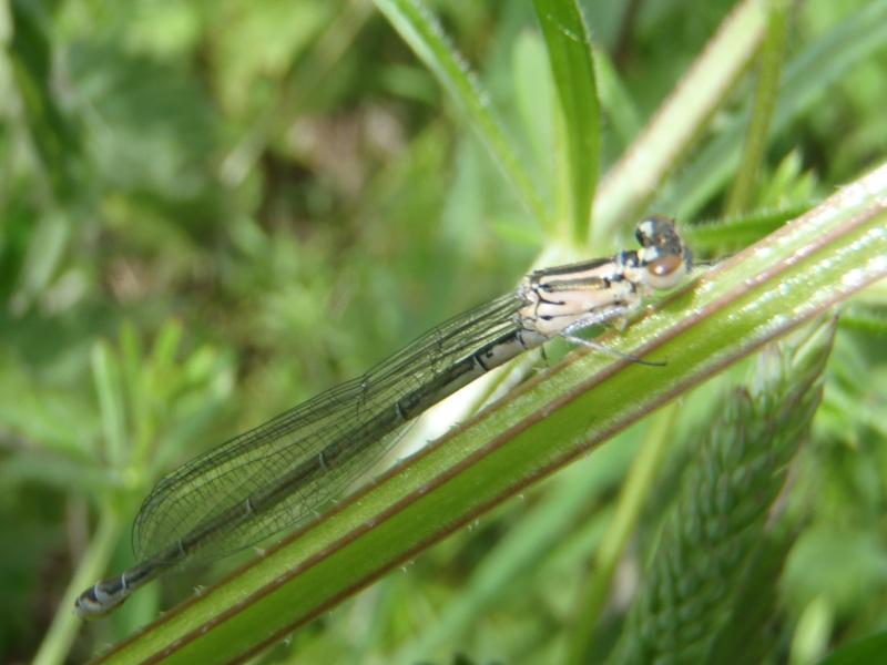 coenagrion puella P6010818