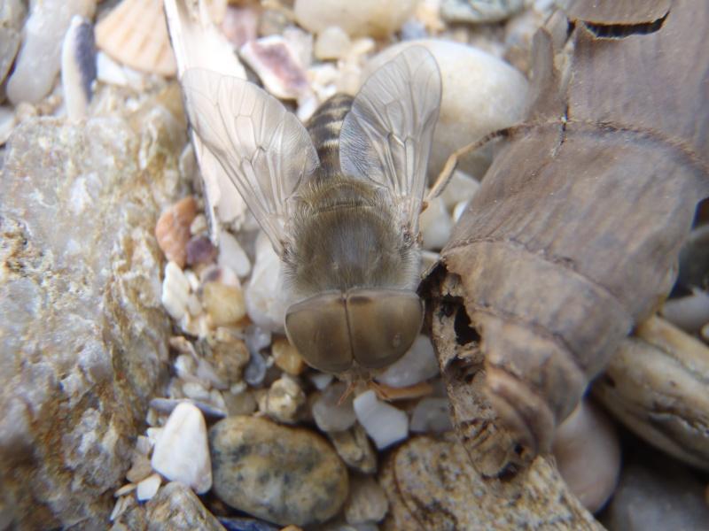 Tabanidae P6151111