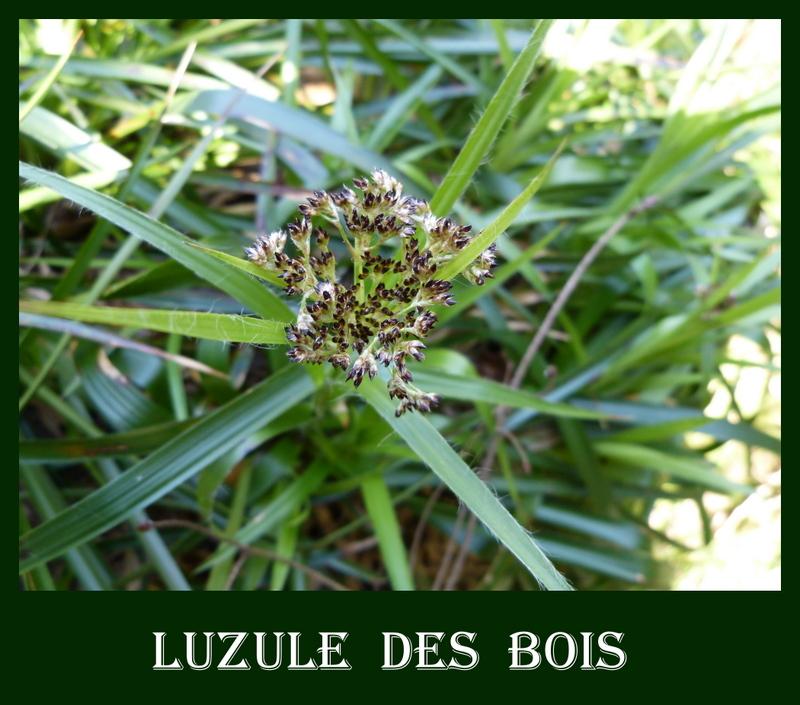 LES FLEURS DE L'ARREE 1ère partie Luzule10