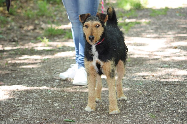 FOXY xJagd Terrier 250269802121955 Img_3210