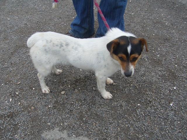 HECTOR xFox Terrier 250269802172070 P1160410
