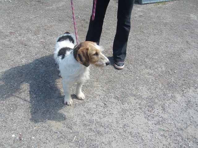 FRISOU xFox Terrier 250269802207175 P1160632