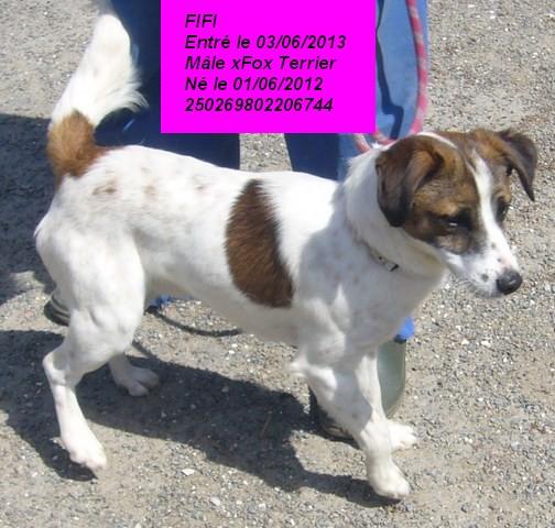 FIFI xFox Terrier tricolore 250269802206744 P1160634