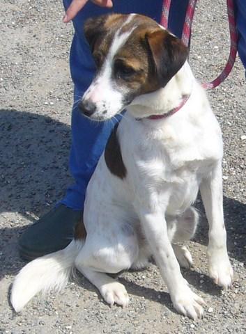 FIFI xFox Terrier tricolore 250269802206744 P1160635