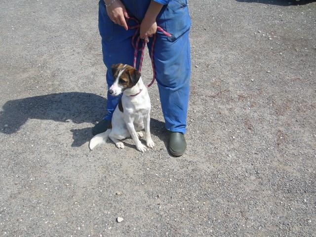 FIFI xFox Terrier tricolore 250269802206744 P1160636