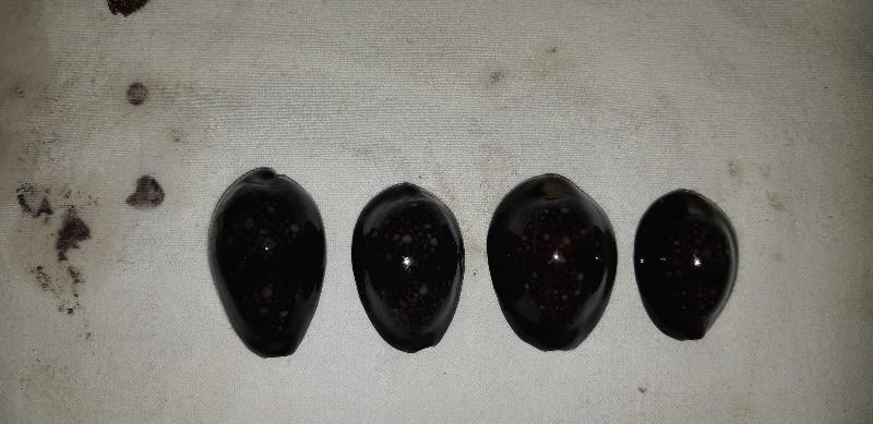 Monetaria caputserpentis caputserpentis - (Linnaeus, 1758) - Page 3 20180926