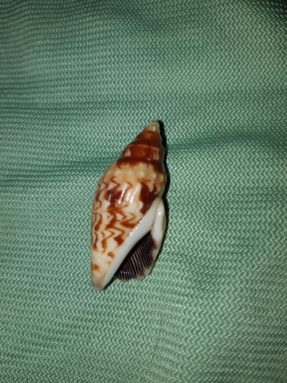 Strombidae Tridentarius dentatus - (Linnaeus, 1758) 20190510