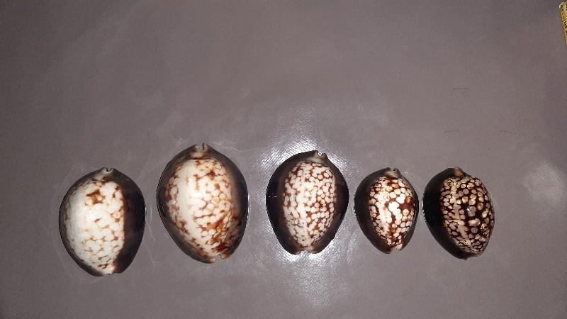 Mauritia mauritiana albiflora - (Petrbok, 1932)  20190913