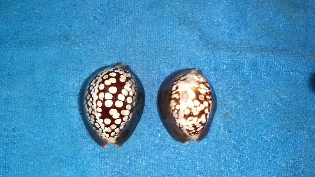 Mauritia mauritiana albiflora - (Petrbok, 1932)  20200512