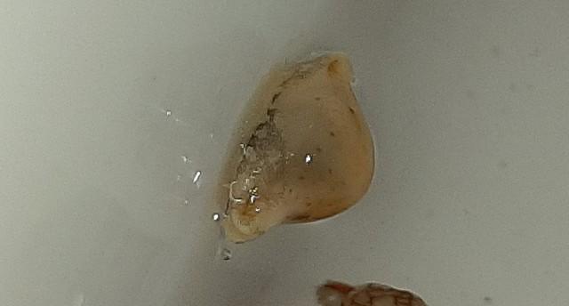 Pustularia cicercula tuamotensis - Lorenz, 1999 20200520