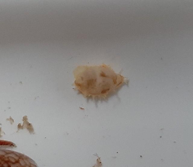 Pseudocypraea adamsonii - (Gray, 1832) 20200524
